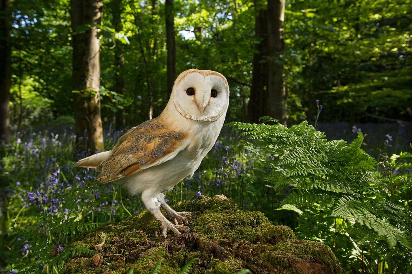 Barn Owl in Blue-bell wood