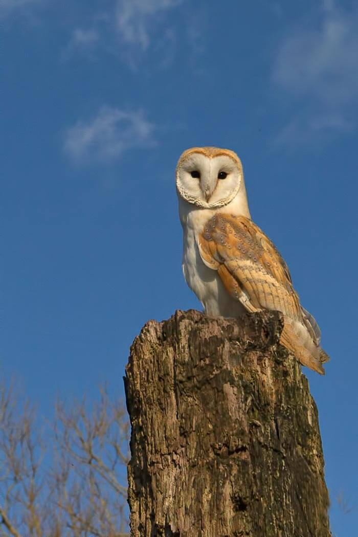 Barn Owl sat on post