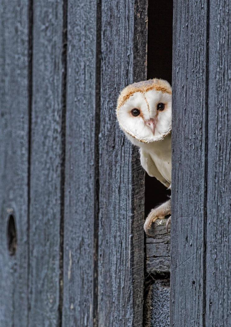Barn Owl peeping through fence