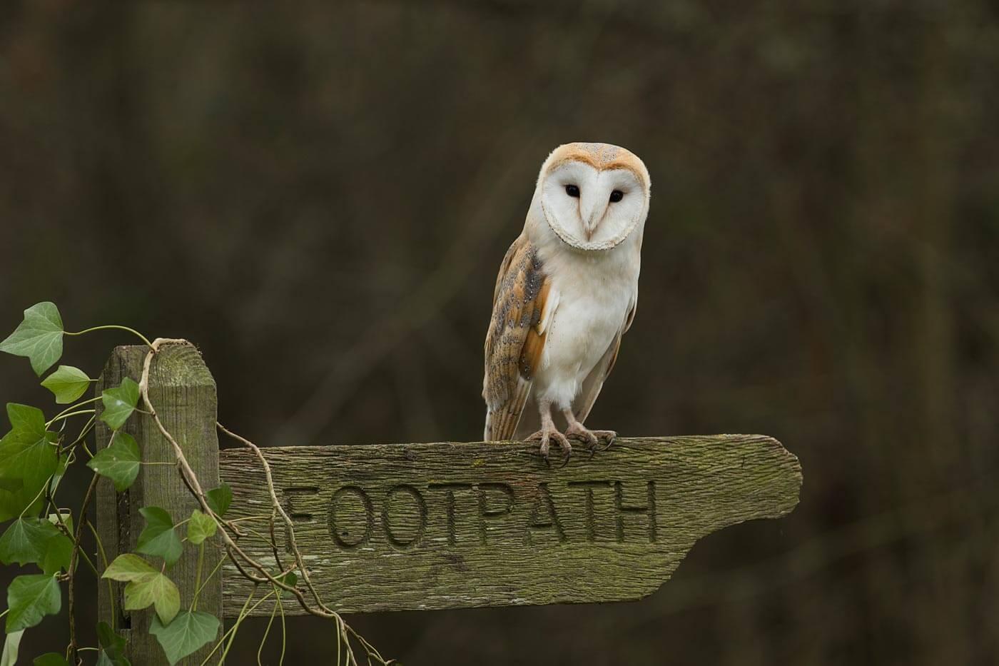 Barn Owl on footpath sign