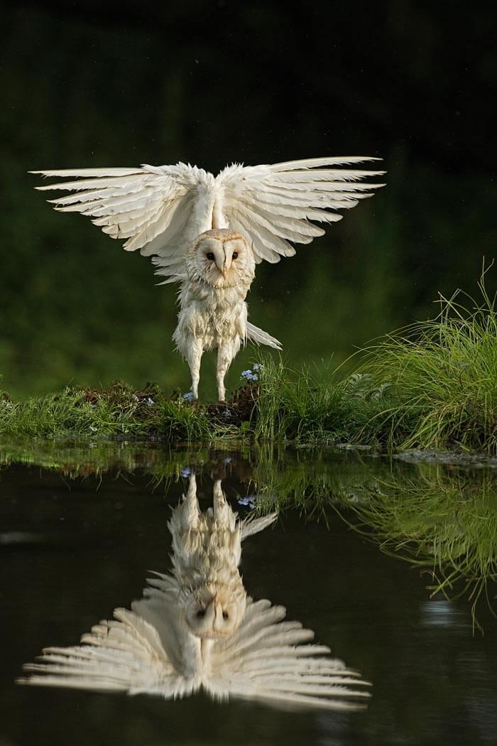 Barn Owl at reflection pool