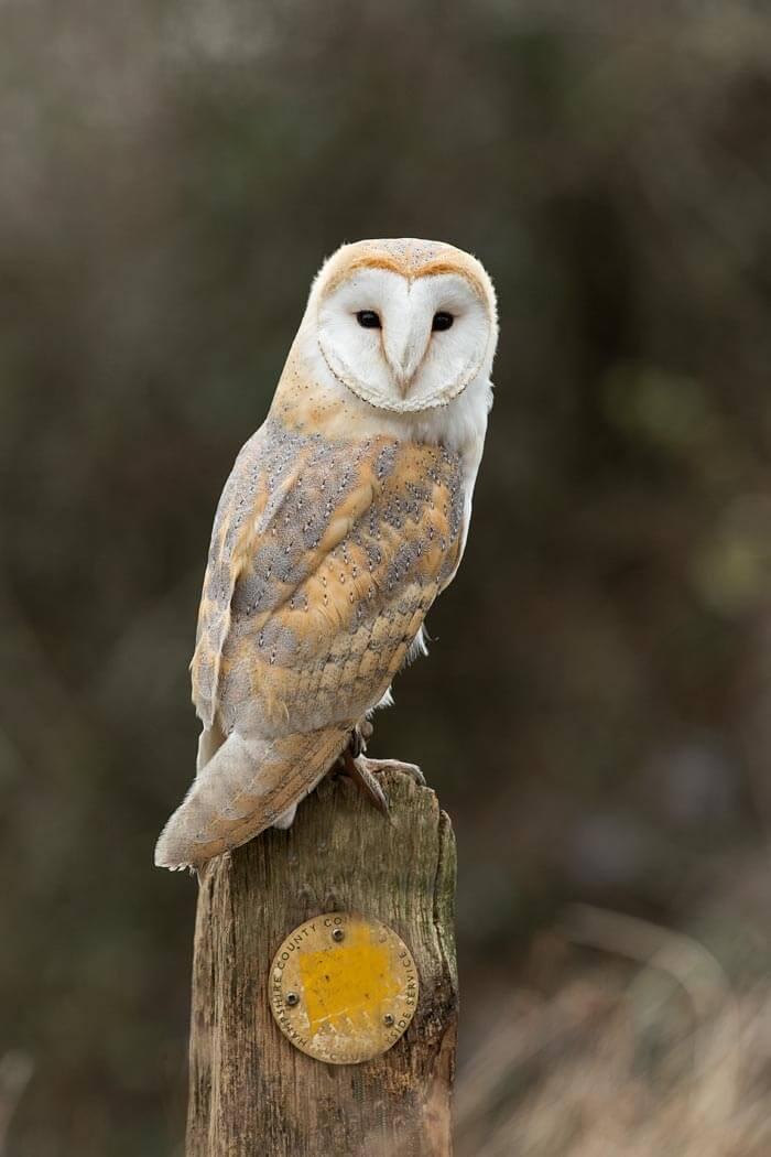 Barn Owls Pete Whieldon Photography
