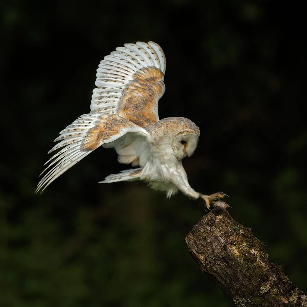 Barn Owl coming into land