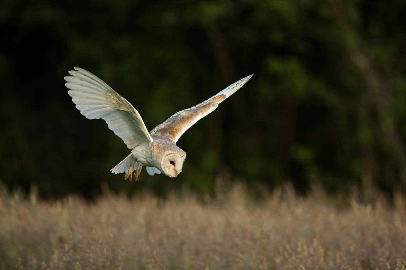 Barn Owl hunting in field