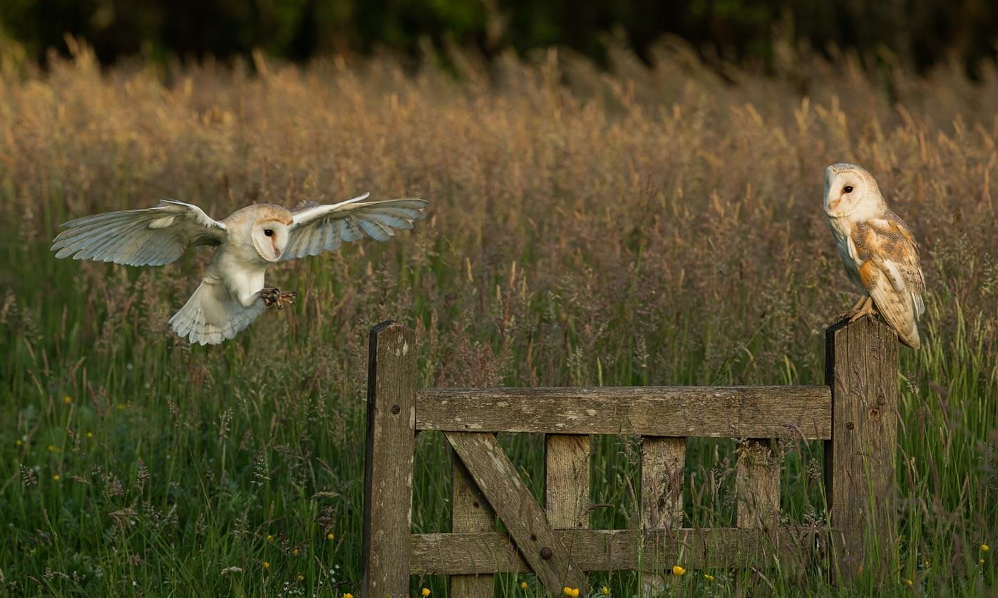 Barn Owl flying to gate post