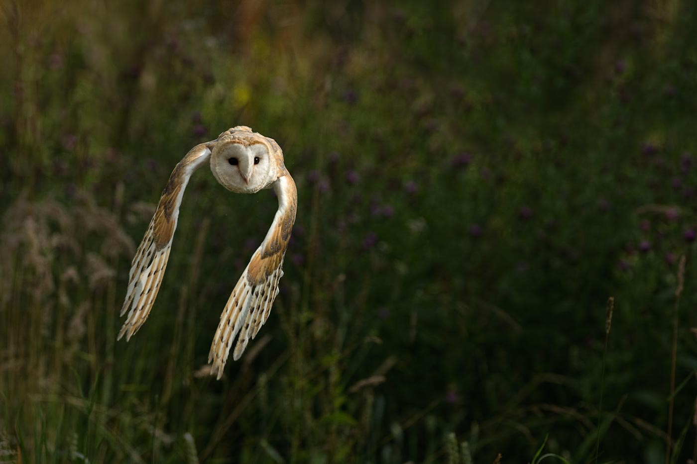 Barn Owl in PWP Flight-cage
