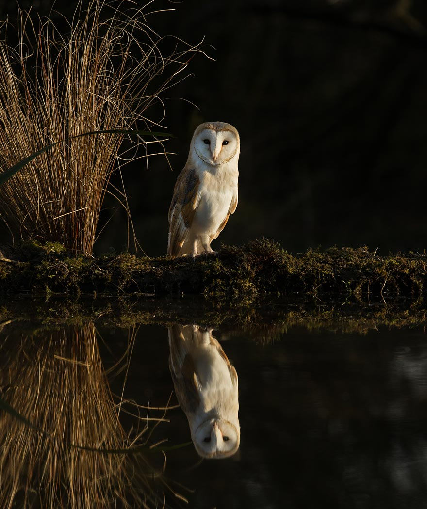 Barn Owl at reflection pool