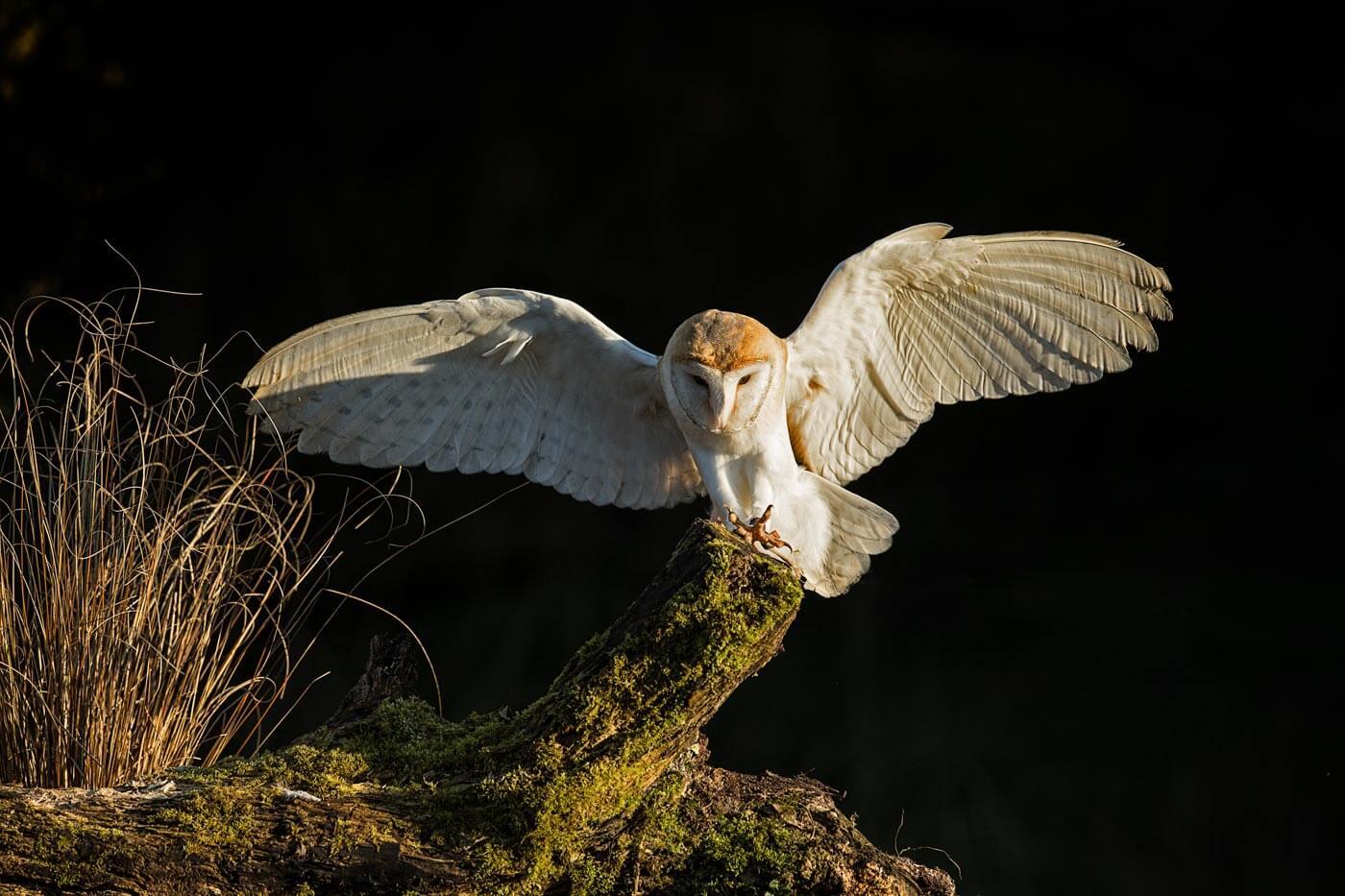 Barn Owl flying to tree stump