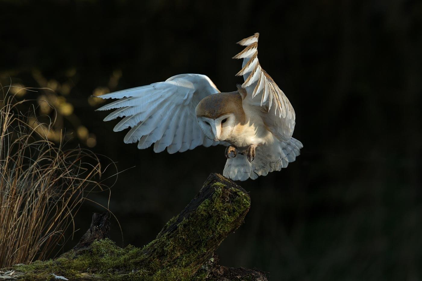 Barn Owl landing on tree stump
