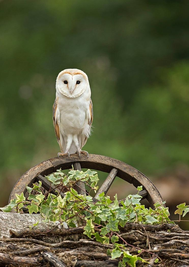 Barn Owl sat on wooden cart wheel