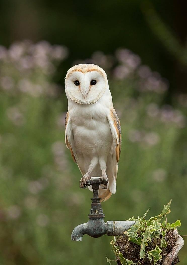 Barn Owl on garden tap