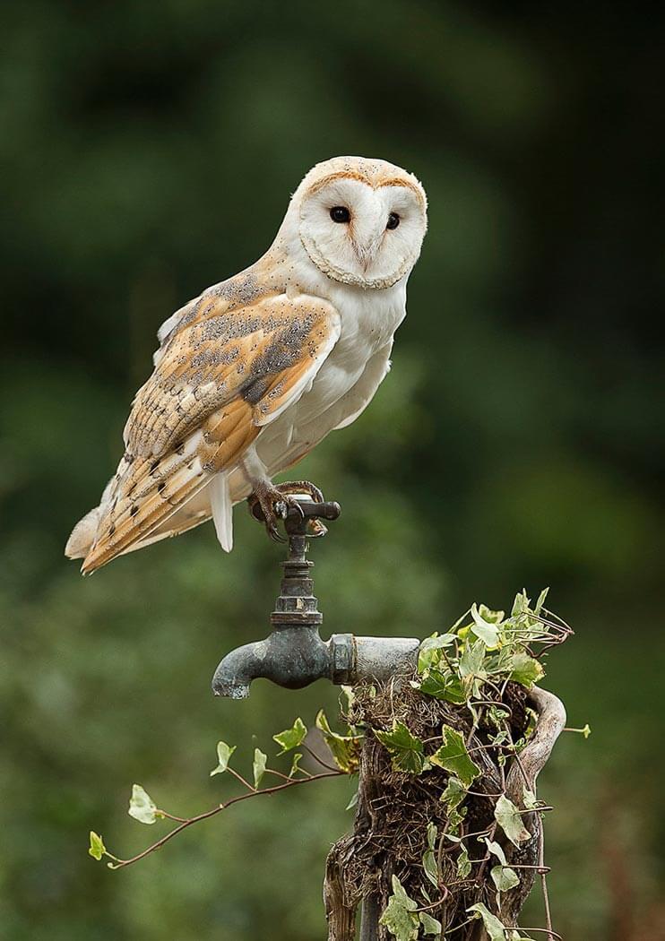 Barn Owl sat on garden tap