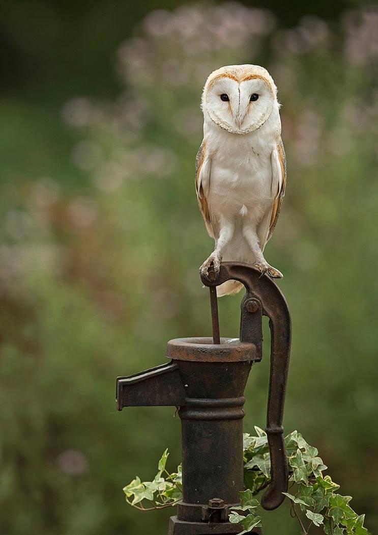 Barn Owl sat on water pump handle