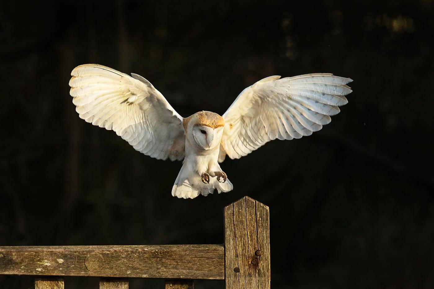 Barn Owl flying to gate