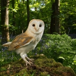 Barn Owl in Blue-bell wood