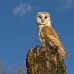 Barn Owl sat on post