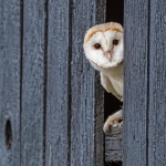 Barn Owl peeping through fence