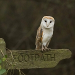 Barn Owl on footpath sign