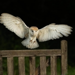 Barn Owl landing on gate
