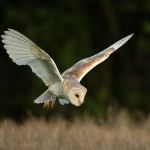 Barn Owl hunting in field