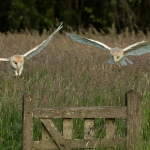 Pair of Barn Owls in flight