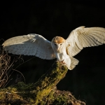 Barn Owl flying to tree stump