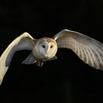 Barn Owl in flight hunting
