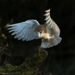 Barn Owl landing on tree stump