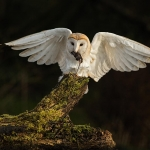 Barn Owl landing on tree stump with mouse