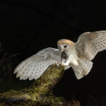Barn Owl flying to tree stump with mouse