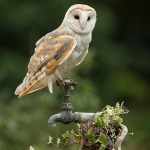 Barn Owl sat on garden tap