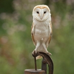 Barn Owl sat on water pump handle
