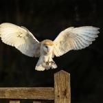 Barn Owl flying to gate