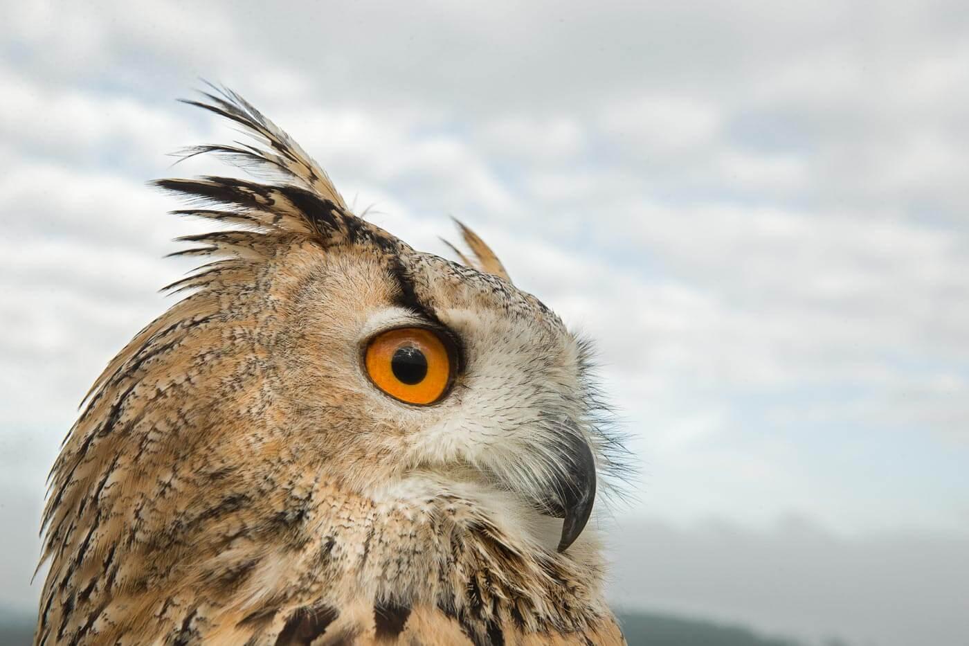 Bengal Owl close-up head portrait