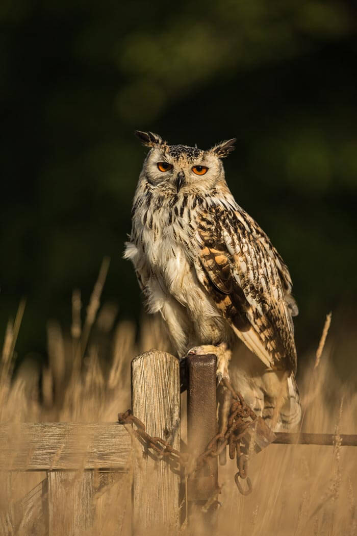 Bengal Owl sat on fence post