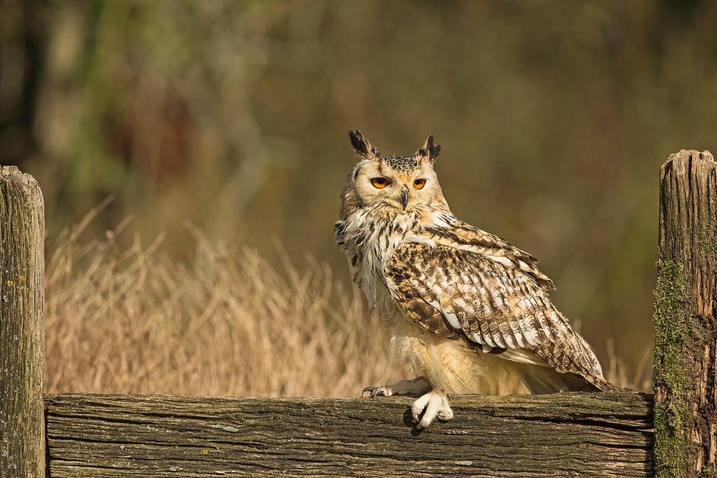 Bengal Owl sat on gate