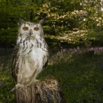 Bengal Owl on tree stump in Blue-bell wood