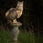 Bengal Owl sat on garden ern