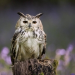 Bengal Owl sat on tree stump in Blue-bell wood