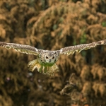 Bengal Owl in flight in the PWP flight-cage