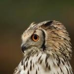 Bengal Owl portrait