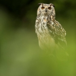 Bengal Owl in field