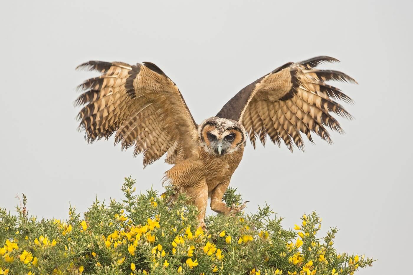 PWP_002_Brown_Owl__H0R5360A