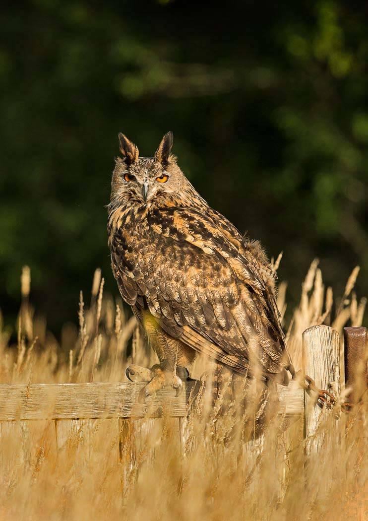 PWP_01_European-Eagel-Owl_AH0R4089A