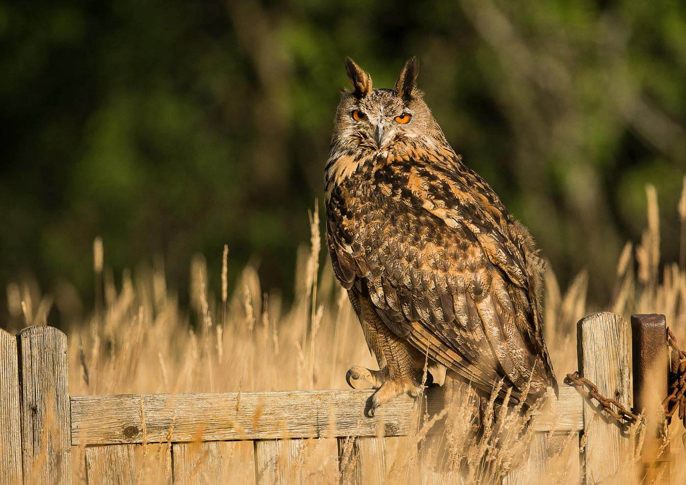 PWP_02_European-Eagel-Owl_AH0R4129A
