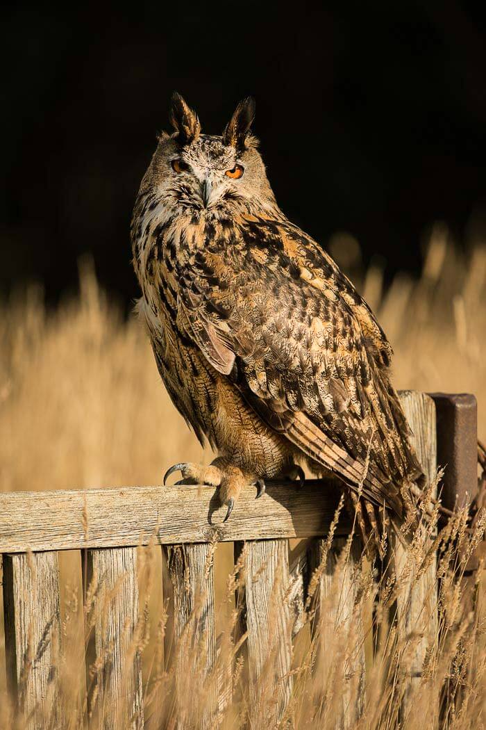 PWP_04_European-Eagel-Owl_AH0R4166A