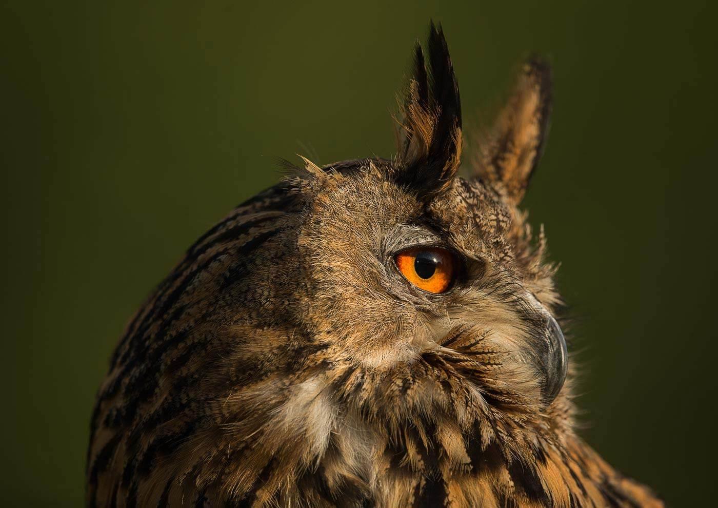 PWP_09_European-Eagel-Owl_AH0R4551A