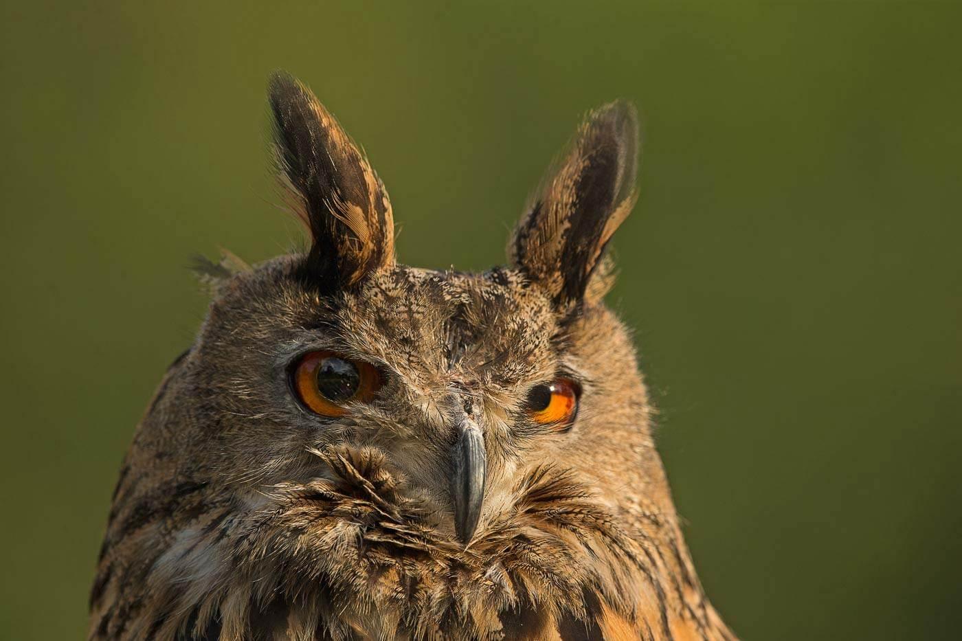 PWP_10_European-Eagel-Owl_AH0R4608A