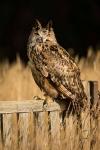European Eagel Owl