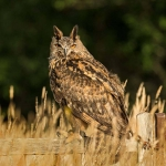 PWP_01_European-Eagel-Owl_AH0R4089A